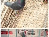 山东省临沂市费县上冶镇常年出售信鸽,诚信经营,假一罚十 。