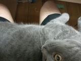出六个月英短蓝猫