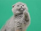 苏格兰折耳猫 渐层折耳蓝猫折耳 活泼可爱包纯包售后