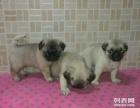 南京哪里有卖哈巴狗的价格是多少在哪里可以买到
