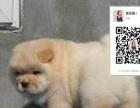 高品质肉嘴松狮幼犬出售质保签署协议均可办理血统证
