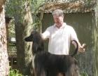 纯血阿富汗猎犬与犬舍场地一起转让