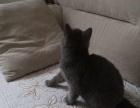 出售四个月蓝猫小母