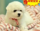纯种棉花糖比熊犬 大毛量可爱天使 疫苗齐全