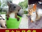 精品松鼠,魔王雪地黄山等幼崽,非迷刺猬等宠物