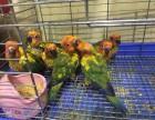 轉讓人工繁殖手養金太陽鸚鵡幼鳥 很粘人