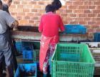 大量提供干净的龙虾货源