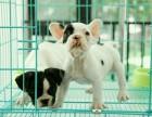优良血统 纯种法牛犬 健康 活泼 已疫苗驱虫