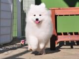 杭州专业狗场繁殖萨摩耶犬幼犬 好养活签协议有保障