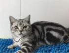 傲娇萌猫纯种虎斑猫美短渐层蓝白折耳宠物猫活体幼体