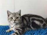 家有虎斑幼猫,颜值超高,会用猫砂,绝对健康