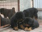 藏獒哪有卖的/宠物店狗市在哪里