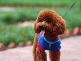 重庆本犬舍出售各品相好的高加索犬 全网发货