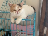 加菲猫,现2岁,应工作原因不能照顾,寻求爱猫人士