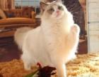 温州哪里有布偶猫卖海豹双色重点手套均有CFA认可多只可挑