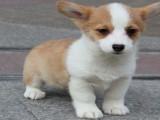柯基犬繁殖基地出售两色三色柯基宝宝纯种健康质保终身