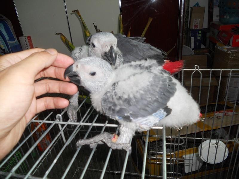 转让非洲灰鹦鹉幼鸟 聪明可爱 聪明会说话