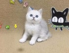 南京本地猫舍出售英短渐层 蓝猫 蓝白可上门当面挑选