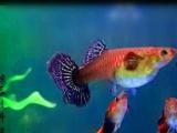 纯种泰系大耳马赛克孔雀鱼