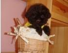 重庆狗场直销,纯种泰迪熊幼犬,三个月包退换签协议送用品