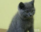 家养蓝猫DDMM出售