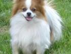 犬舍直销一精品蝴蝶犬一签协议一包养活一三个月可退换