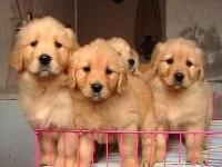 武汉出售宠物狗 金毛犬 萨摩犬 哈士奇拉布拉多阿拉斯加签协议