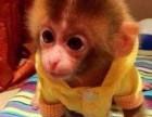 广东省云浮市哪里有卖袖珍石猴宠物猴