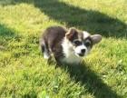 南京出售纯种柯基犬丶三包健康纯种保存活丶全国发货
