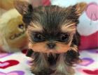 专业繁殖约克夏犬幼犬火热销售中欢迎上门挑选