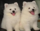 上海哪里有卖银狐上海银狐犬多少钱上海银狐犬好养吗上海银狐照片