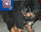 藏獒价格 藏獒多少钱一只 出售藏獒幼犬 纯种藏獒