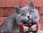 英短白猫 活体 纯白猫咪 宠物猫 纯种家养繁殖