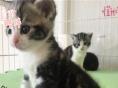 蓝白 渐层 英国短毛猫家养活体幼猫纯种种苗幼猫