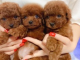 东莞 本地出售泰迪幼犬狗狗包健康纯种售后无忧