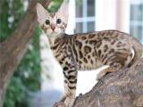 上海楊浦純種雙血統豹貓幼崽放心購買