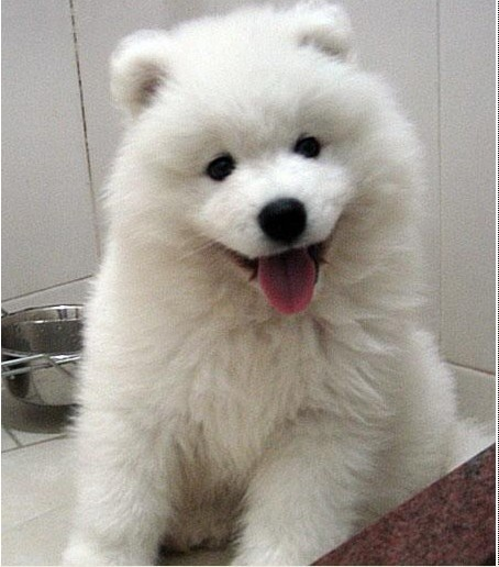 出售萨摩耶幼犬 纯正可爱 无病 包健康 签订售后协议