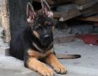 大型犬舍繁殖高品质德国牧羊犬黑背健康有保证欢迎上门