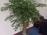 大亚湾发财树批发,大亚湾发财树零售,大亚湾发财树零售