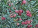 长春苹果树苗-辽宁哪里有出售软枣子猕猴桃苗