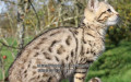纯种猫宠物猫咪孟加拉豹猫幼猫玫瑰纹DDMM均有