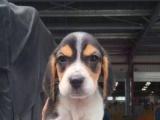米格鲁猎兔犬比格犬 短毛中型犬 大眼睛可爱迷人 纯种赛级犬