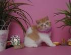 德阳出售纯种加菲猫 包纯种健康 疫苗已做 颜色可挑选