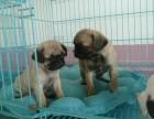 深圳本地上门低价出售 纯种巴哥犬 当面检查 包健康送用品