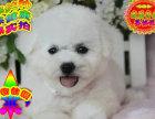 大眼睛甜美脸型法系小体大毛量纽扣眼比熊幼犬包健康