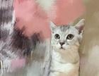 美短鱼骨纹幼公猫