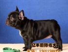 出售精品法牛 赛级法牛幼犬多少钱