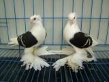 深圳本养殖基地 长期出售各类品相好的观赏鸽 品类齐全
