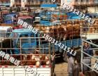 品种四代西门塔尔牛河北黄牛市场肉牛犊销售中