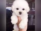 杭州哪里卖比熊犬幼犬杭州比熊多少钱一只比熊图片比熊好养吗